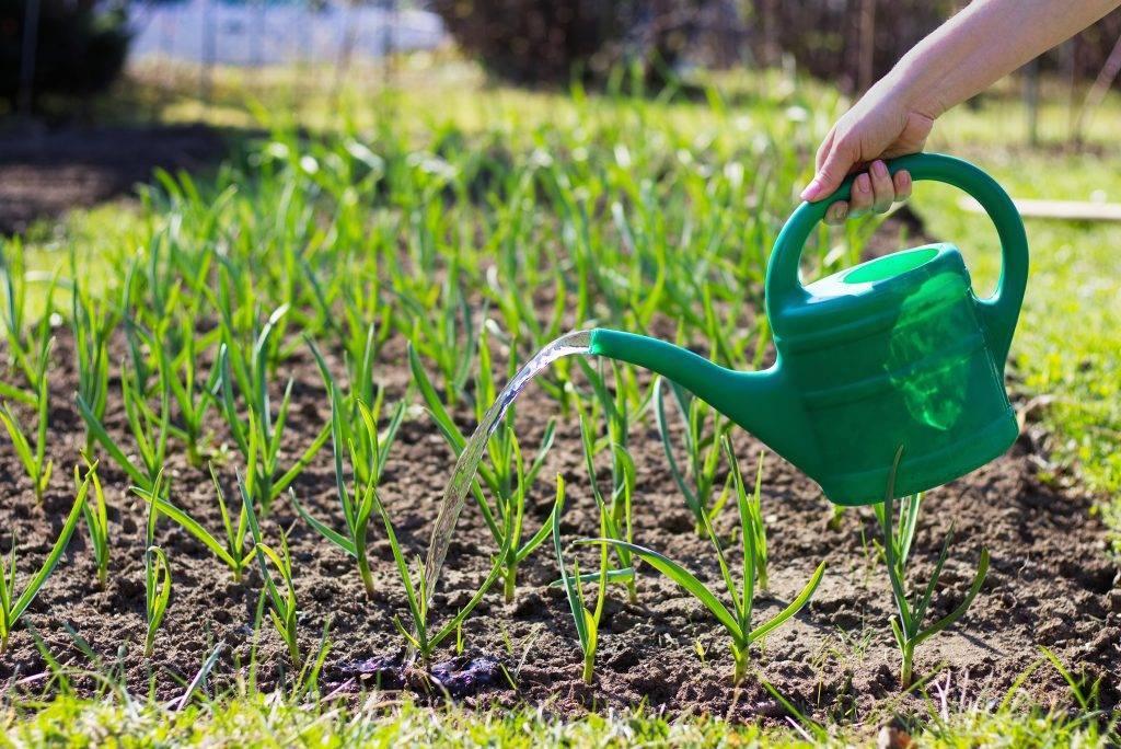 Чем подкормить чеснок после зимы: лучшие удобрения, народные методы и советы как и когда правильно подкормить урожай