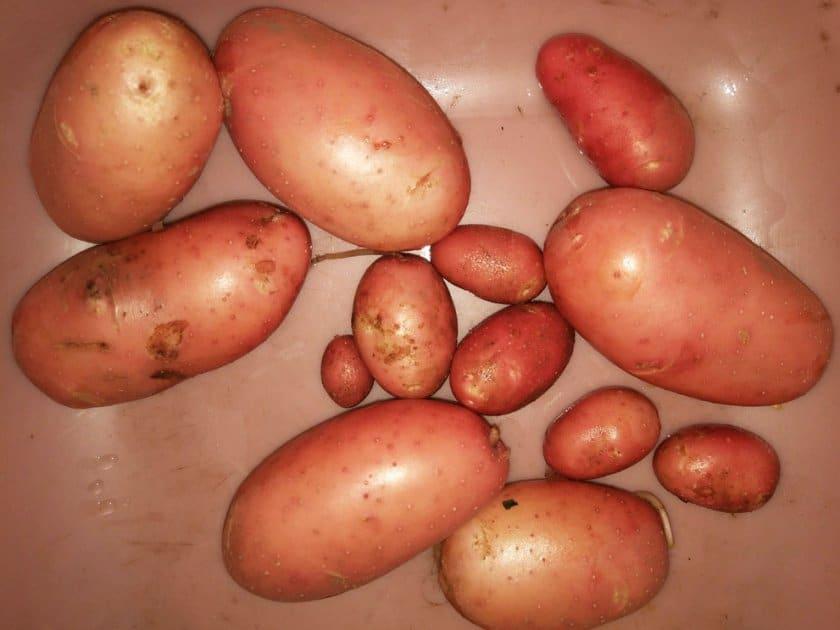Картофель снегирь: описание сорта, фото, вкусовые качества