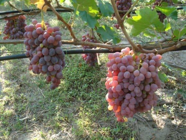 Виноград тайфи: описание сорта, калорийность ягод