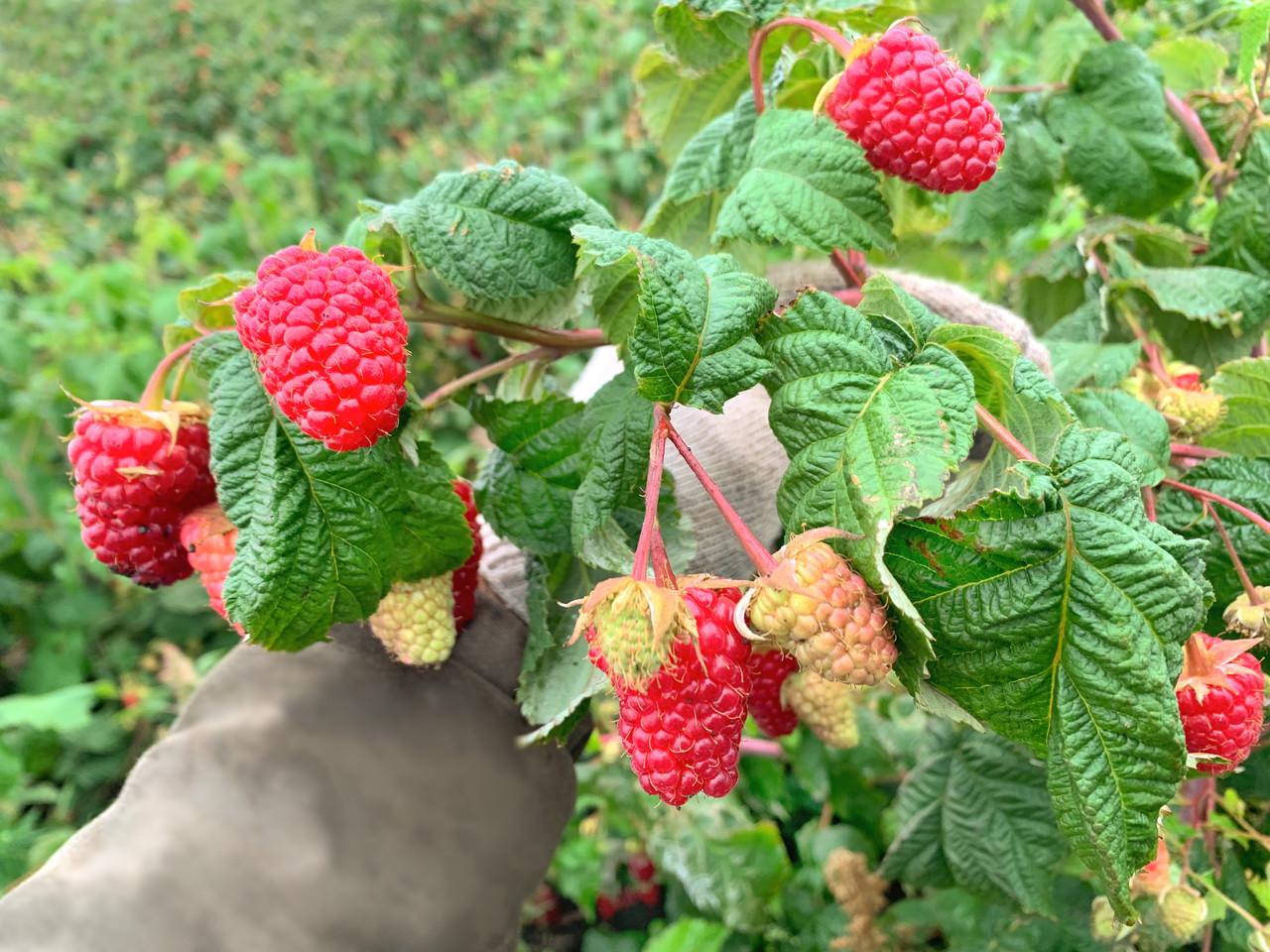 Малина: посадка и уход, выращивание в саду, обрезка и размножение