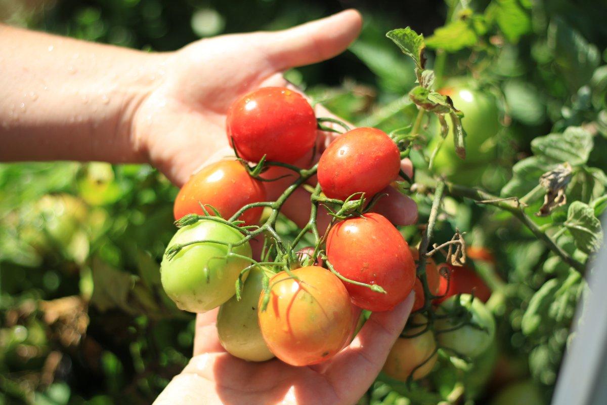 Томат санька золотой: описание сорта и особенности его выращивания