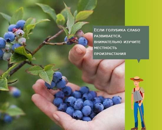 Мой опыт выращивания голубики.: дневник пользователя lsovchin