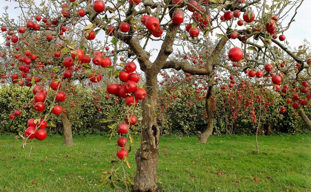 13 сортов яблонь для подмосковья с фото и описанием, устойчивых к парше на sotkiradosti.ru