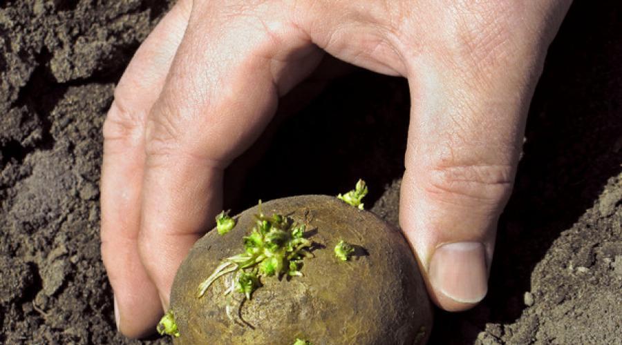 Почему нельзя есть проросший картофель :: инфониак