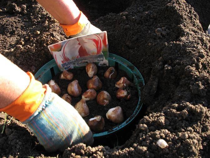 Выращивание луковичных в прикопанных контейнерах. контейнеры для луковичных в открытом грунте. фото