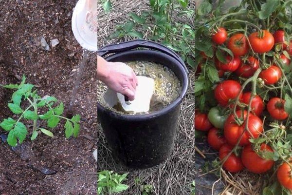 Подкормка томатов золой: самые эффективные способы применения