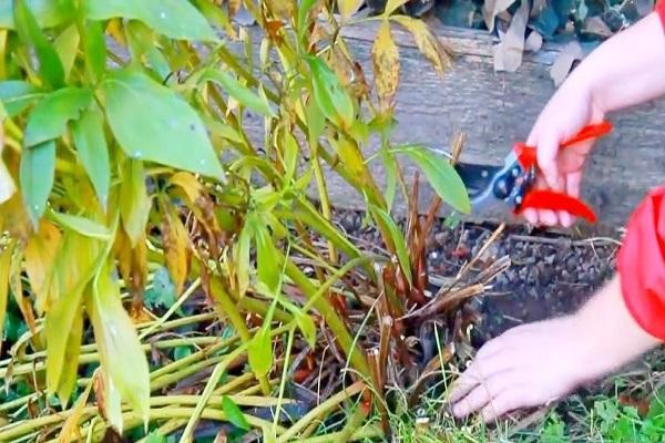 Древовидные пионы (70 фото): сорта, правильный уход и выращивание