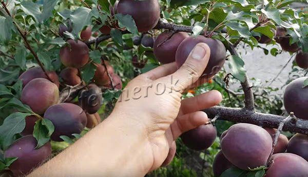 ✅ абрикос чёрный бархат: описание и характеристика сорта, особенности выращивания и ухода, фото - tehnoyug.com