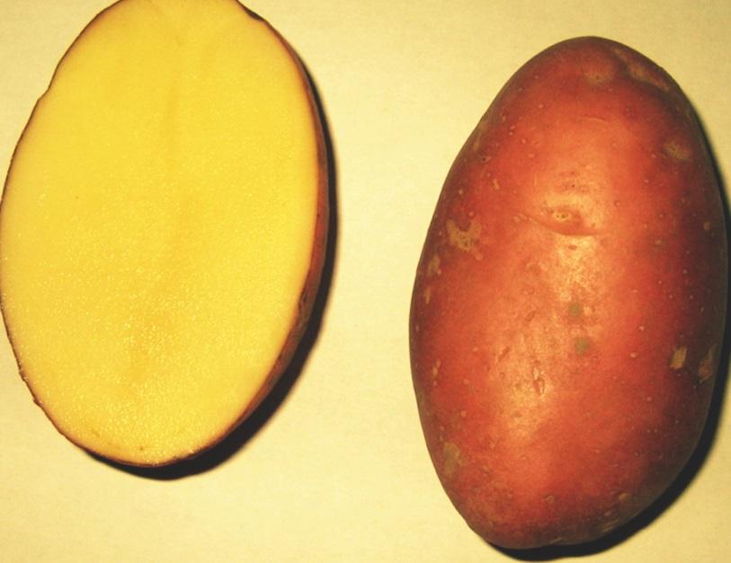 Описание сорта картофеля манифест