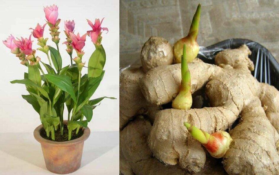 Как хранить тертый имбирь и свежий, и маринованный корень, можно ли заморозить впрок в домашних условиях и на какой срок, сколько разрешено содержать в холодильнике? русский фермер