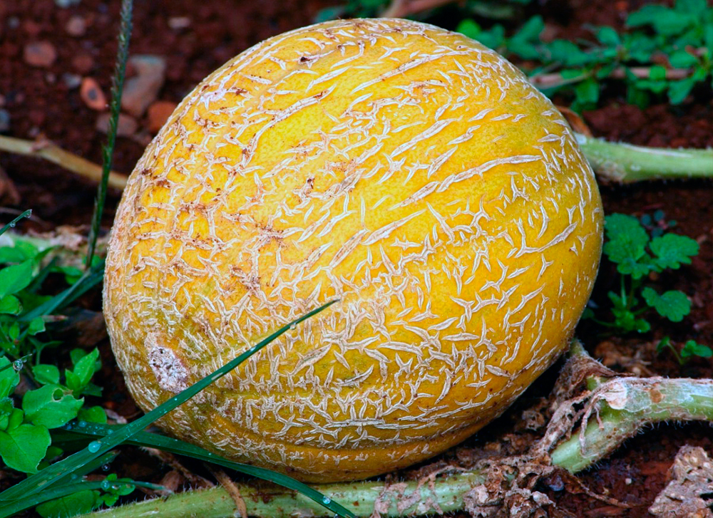 Экзотическая мускусная дыня «канталупа»: обзор сорта с потрясающим вкусом и ароматом