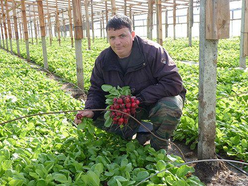 Выращивание редиса: агротехника овоща для открытого грунта и теплицы, а также как правильно посадить и прореживать, можно ли пикировать, каким образом ухаживать?  русский фермер
