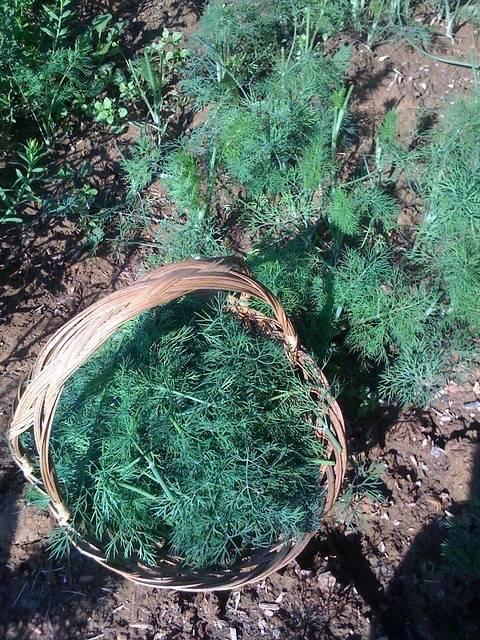 Выращивание укропа в теплице: инструкция, как выращивать свежую зелень зимой и летом, как за ней правильно ухаживать и можно ли превратить это в бизнес