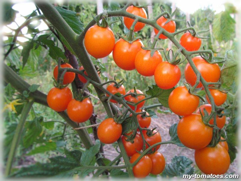 Томат «фламинго» f1: характеристика и описание сорта, рекомендации по выращиванию отличного урожая помидор и фото-материалы