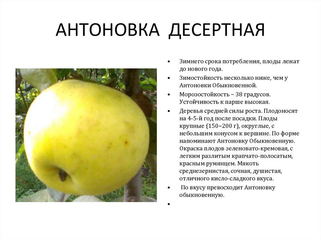 Яблоня антоновка: виды, выращивание, урожайность и зимостойкость