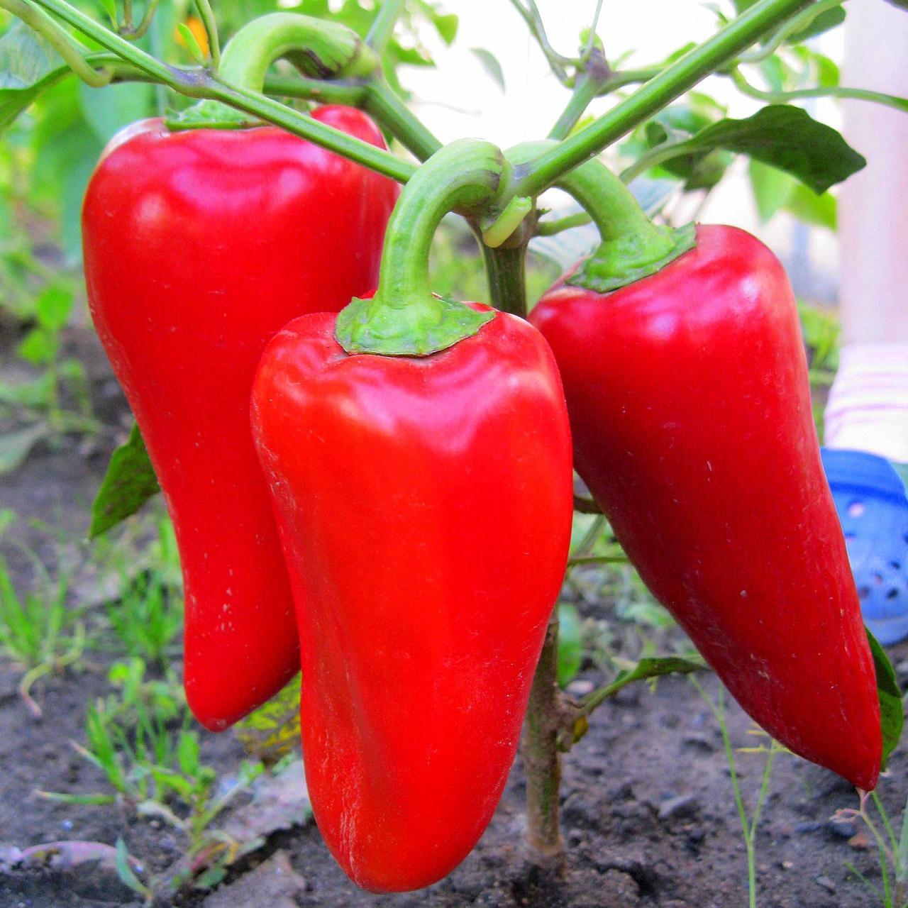 Перец подарок молдовы — описание сорта и особенности выращивания