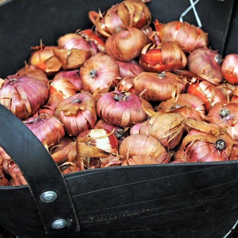Как и когда посадить луковицы гладиолуса в открытый грунт