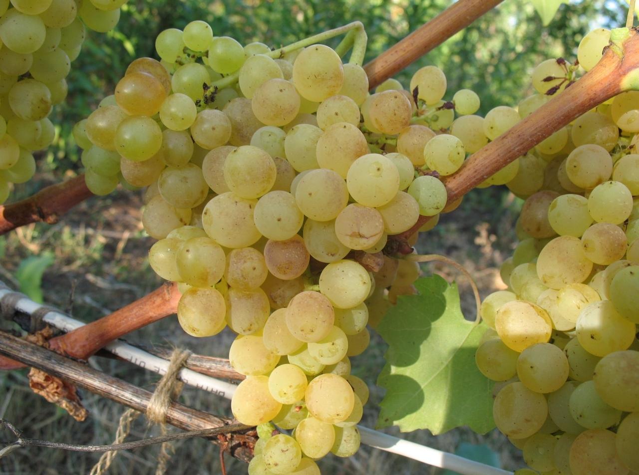 Виноград кеша: история и описание, посадка, уход и отзывы садоводов + разновидности (лучезарный, талисман, красный)