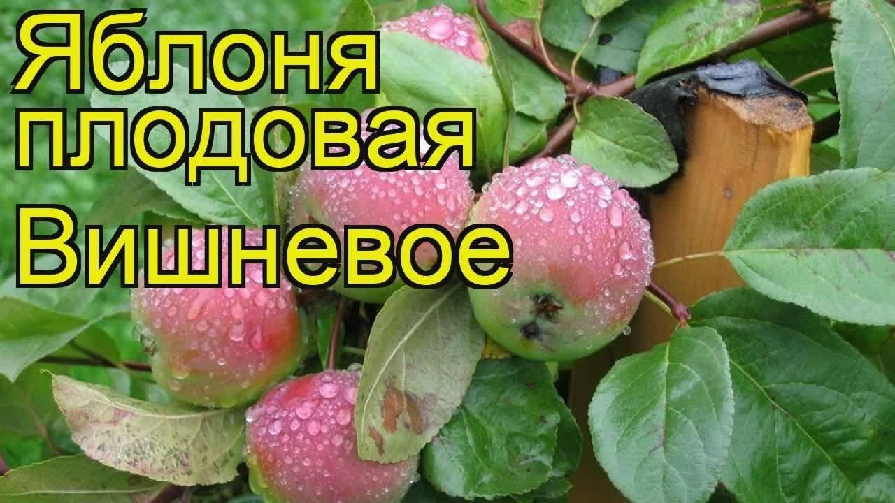 ✅ о яблоне вишневое: описание и характеристики сорта, уход и выращивание - tehnomir32.ru