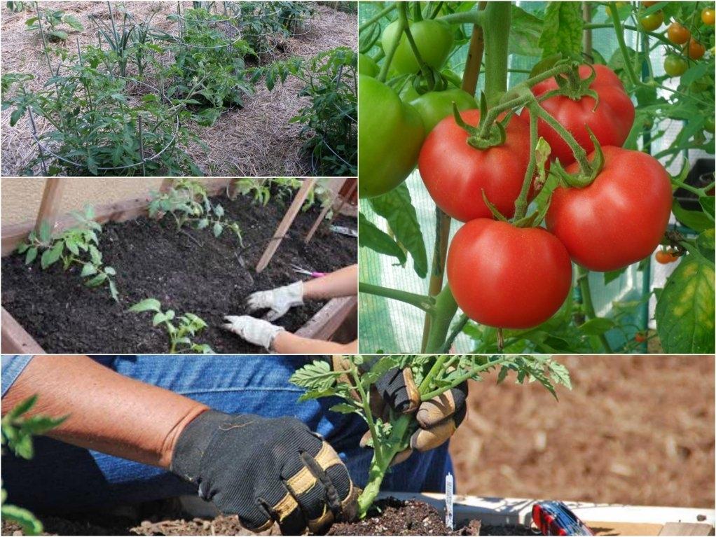 Способы посадки помидоров на рассаду: лучшие методы выращивания томатов, в том числе по м. маслову и терехиной, советы по сооружению приспособлений своими руками русский фермер