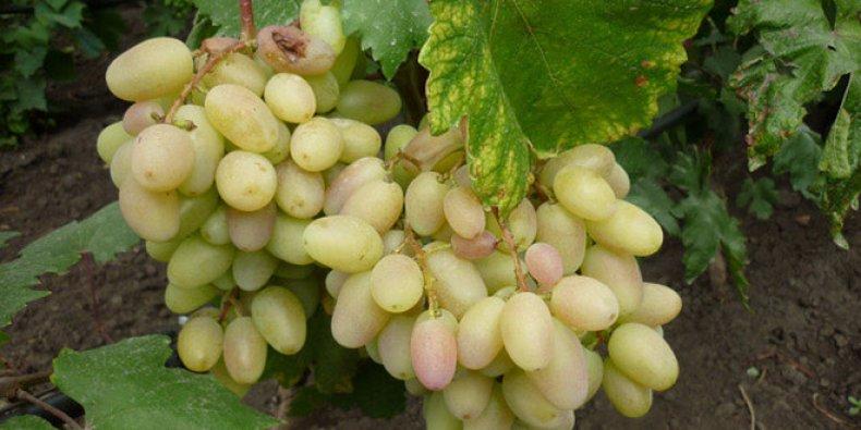 """Виноград """"преображение"""": описание сорта, фото, отзывы"""