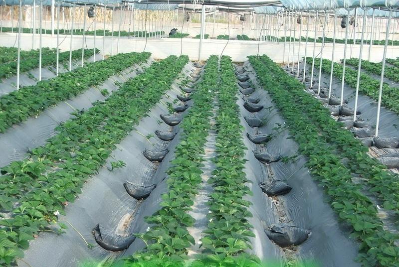 Выращивание клубники в трубах пвх, в том числе как подготовить грунт для посадки