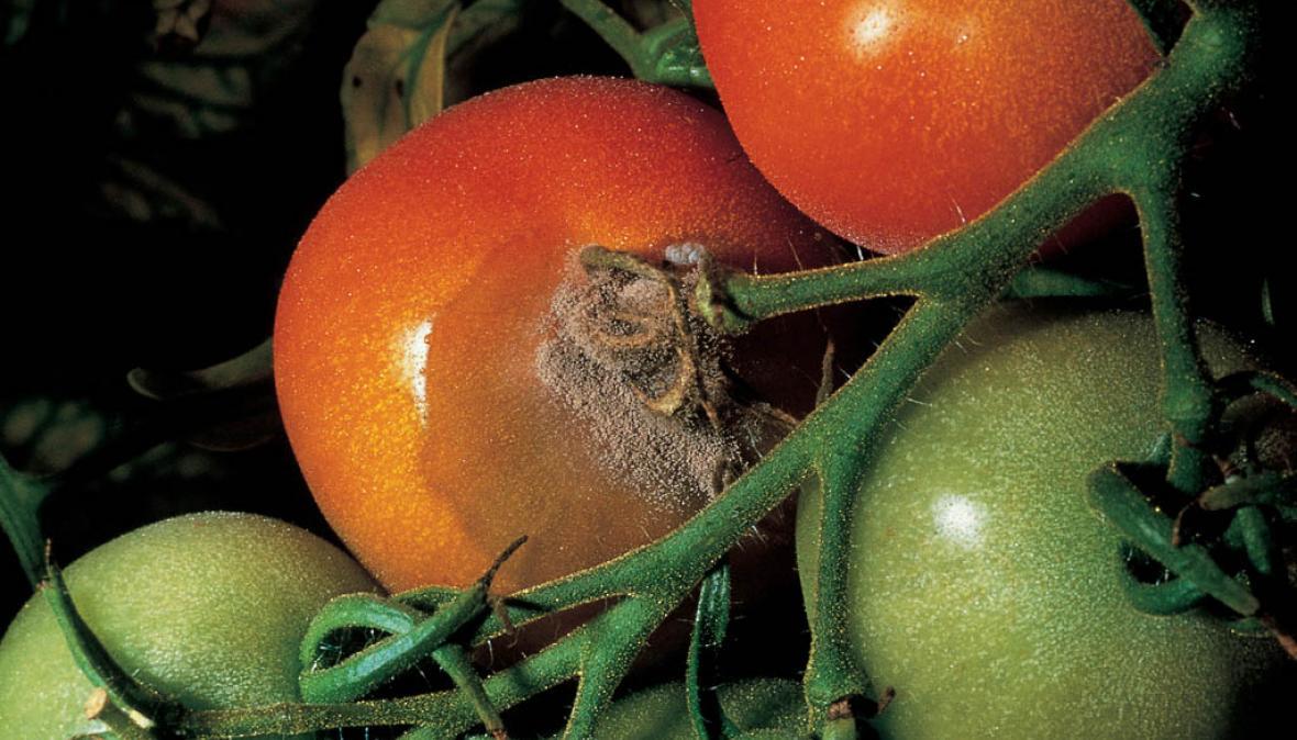 Серая гниль на томатах (17 фото): что делать с помидорами в теплице и открытом грунте? лечение препаратами. как выглядит на плодах и листьях?