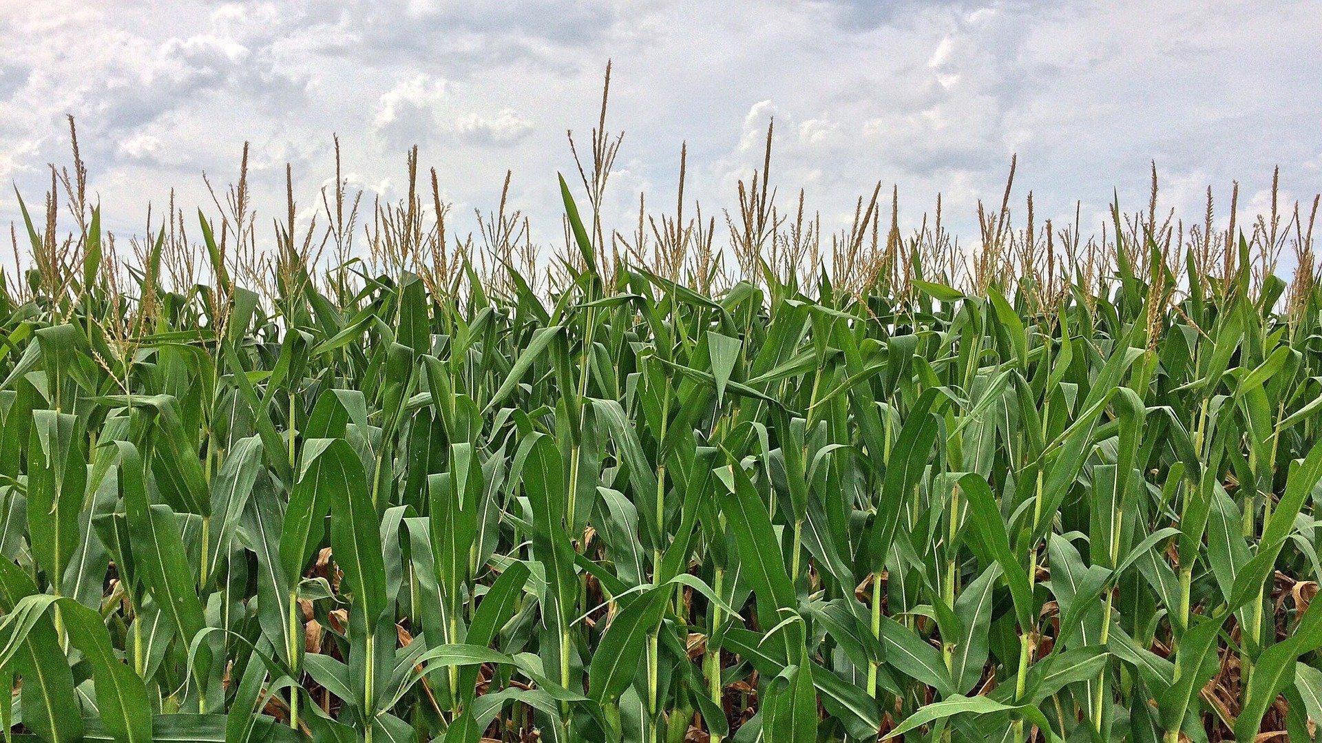 Технология возделывания кукурузы на силос: основные правила посадки и ухода