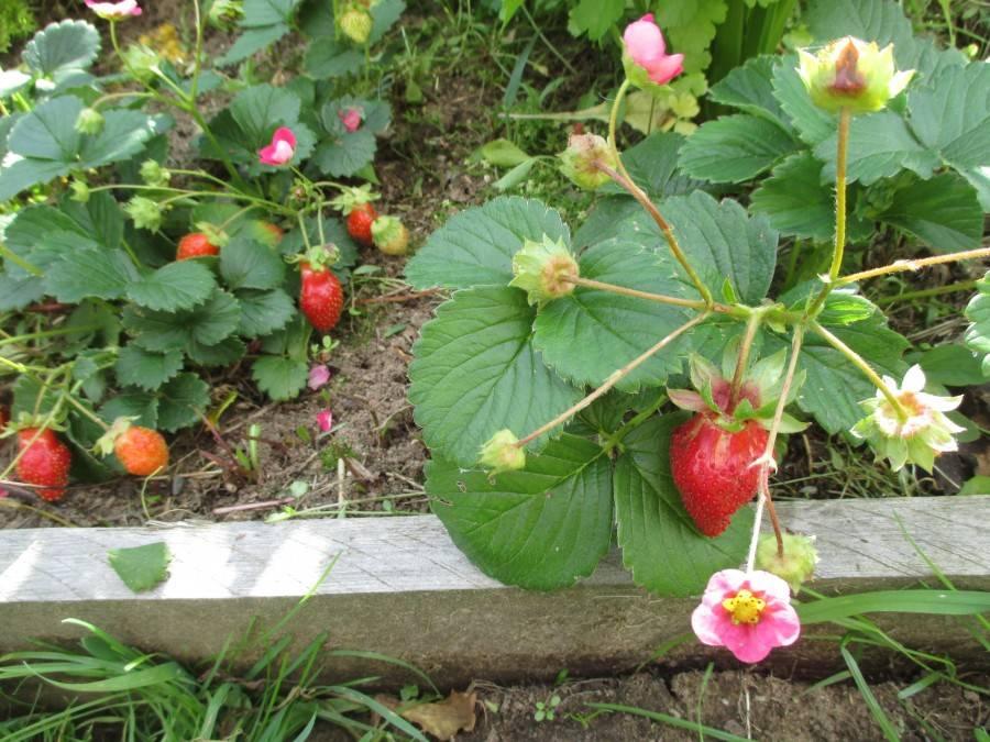 Вот что делать когда клубника перестала плодоносить! 7 важных причин плохого урожая!