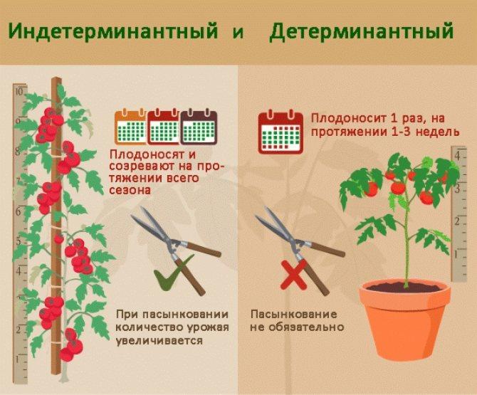 Колоновидный томат палка - урожайный экзот из америки