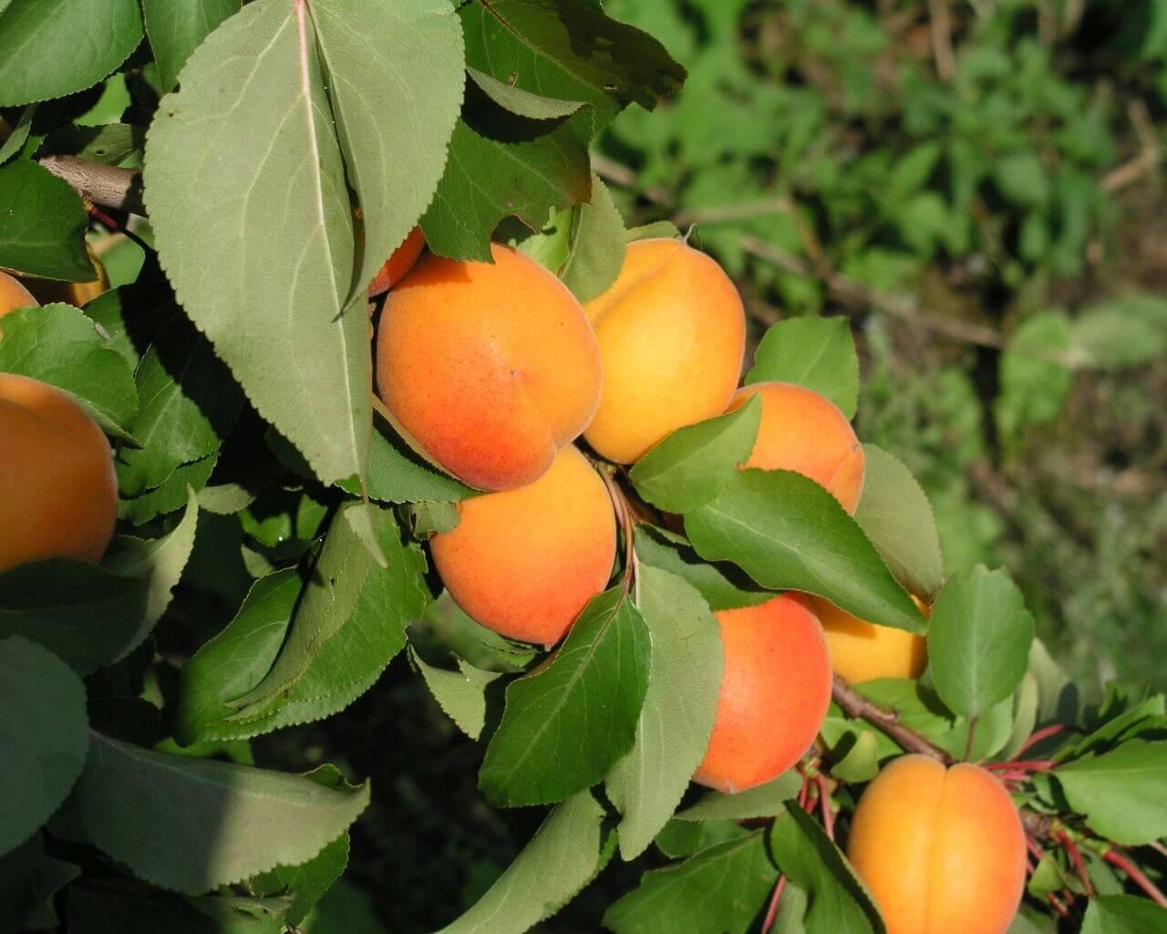 Абрикос на урале: посадка и уход, сорта абрикос на урале: посадка и уход, сорта