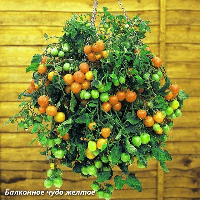 Комнатный томат, балконный помидор, или просто «балконное чудо»: описание сорта с фотографиями