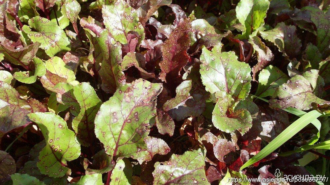 Почему у свеклы краснеют листья и она не растет или отстает в развитии: причины проблемы, а также что делать и чем подкормить овощ