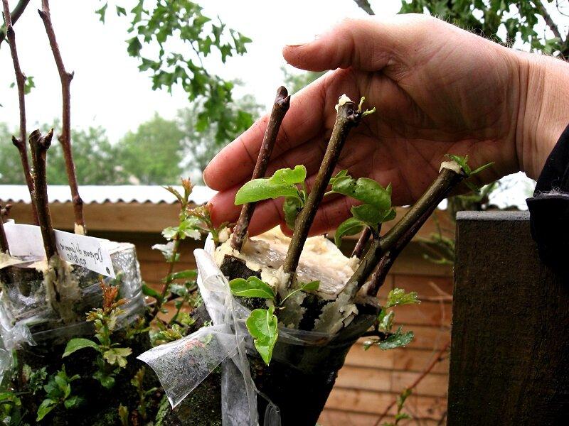 Выращивание саженцев яблони, в том числе из семечка, а также уход за ними
