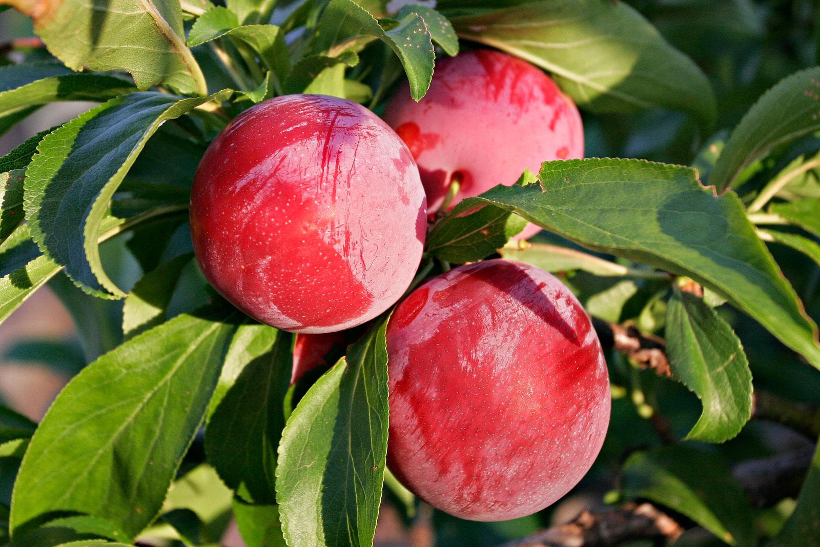 Слива красный шар: описание и характеристики сорта, тонкости выращивания, отзывы