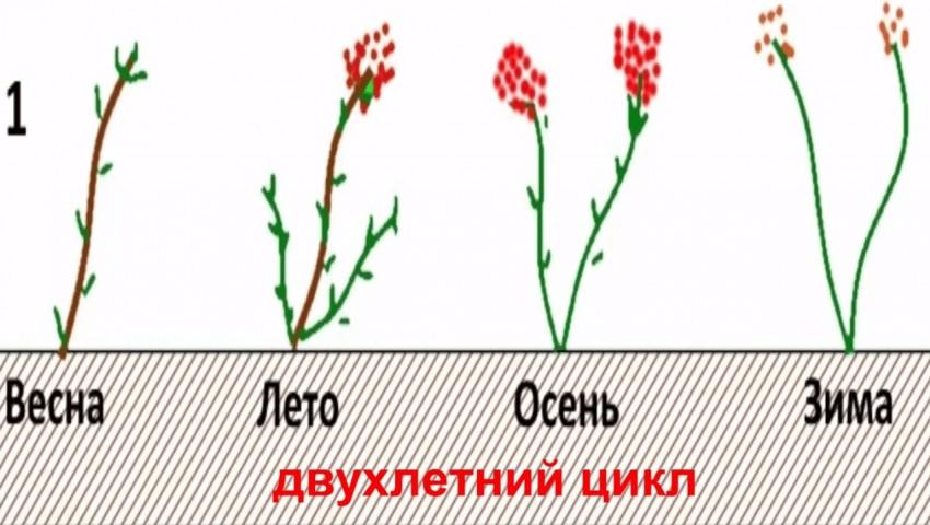 Малина ремонтантная: уход и выращивание, посадка, обрезка, размножение