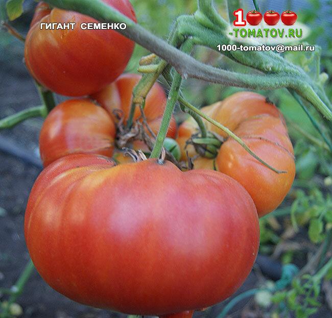 """Томат """"сахарный гигант"""": описание сорта, выращивание, особенности, фото помидоров русский фермер"""