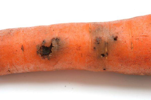 Болезни моркови: фото, описание и лечение основных заболеваний