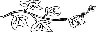 Формирование тыквы в открытом грунте: когда начинать и как правильно прищипывать - год 2021
