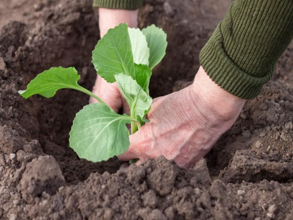 Цветная капуста: выращивание из семян, посадка и уход в открытом грунте, фото