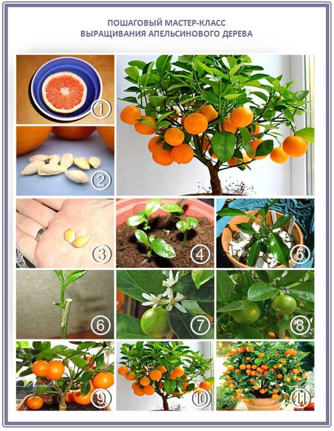Апельсин - посадка, выращивание, уход, особенности