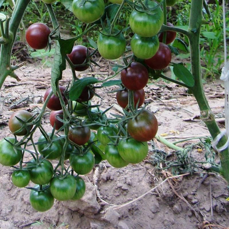 Томат черри черный или черная вишня: описание сорта с неповторимым сладким вкусом