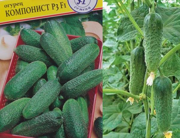 Огурец герман f1: описание и характеристика сорта, особенности выращивания, формирования, фото, отзывы