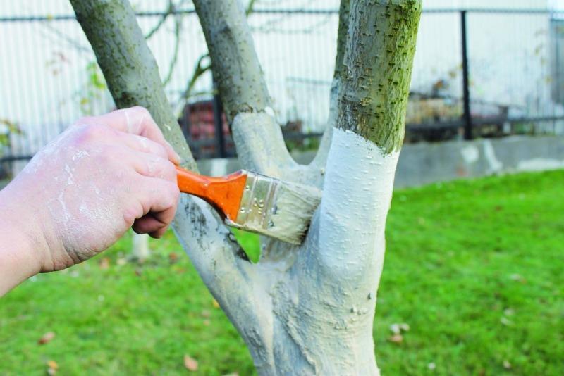 Побелка деревьев осенью: когда, зачем и чем белить плодовые деревья
