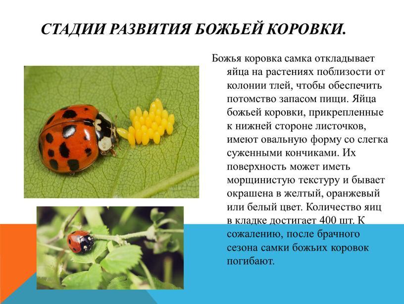 Что едят божьи коровки: пищевые привычки, необходимая еда, особенности кормления и уход - gkd.ru