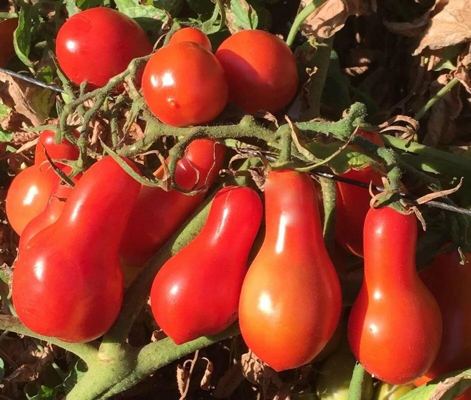 """Томат """"желтая груша"""": описание сорта, характеристики плода, рекомендации по уходу русский фермер"""