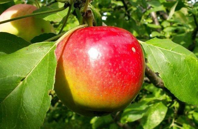 Яблоня конфетное – характеристики, правила посадки и ухода, возможные болезни