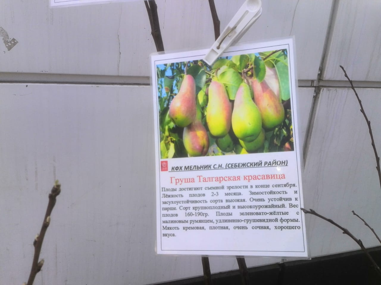 Груша талгарская красавица – фото и описание