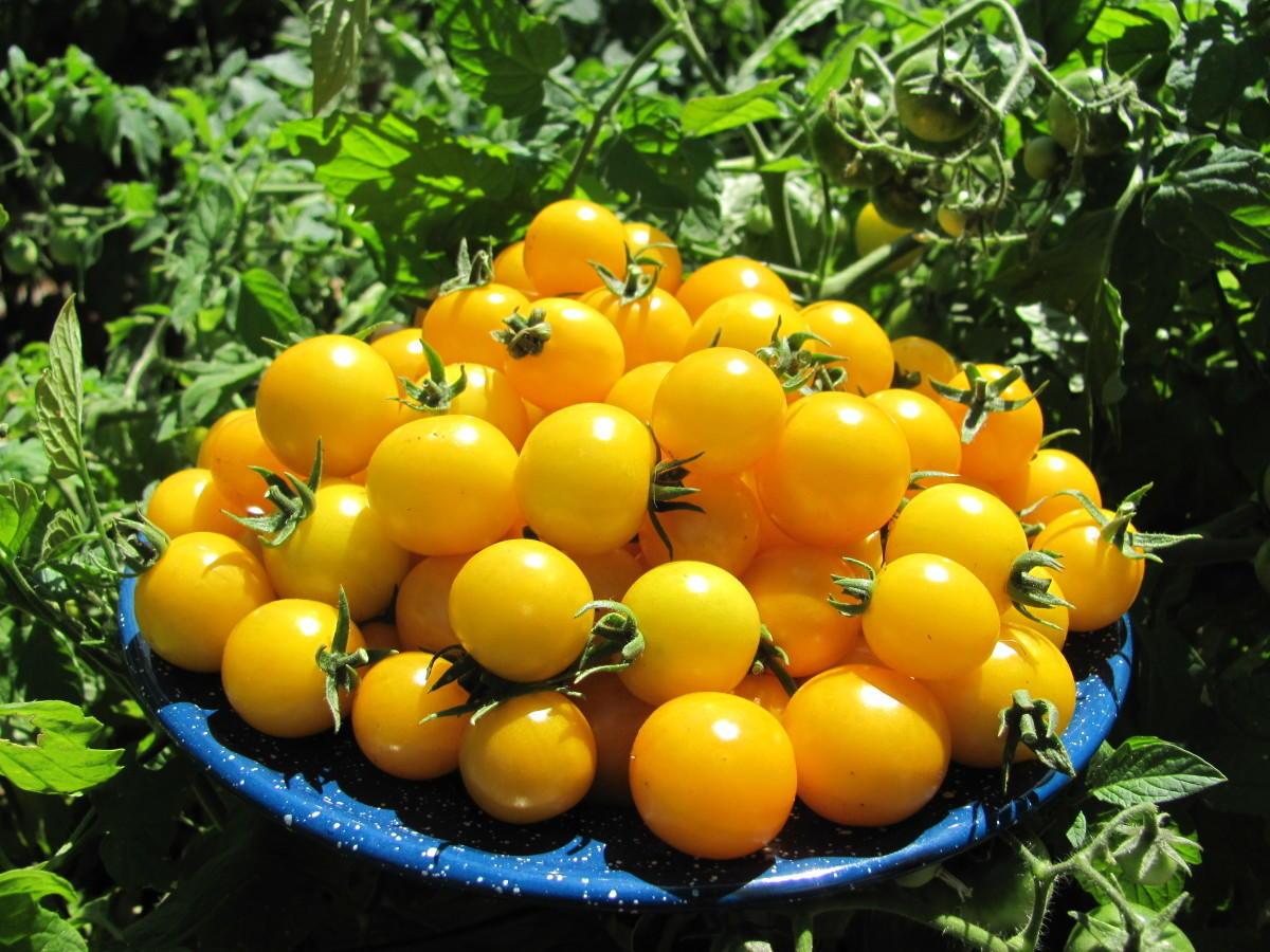 Томат жемчужина желтая: описание сорта и особенности выращивания с фото