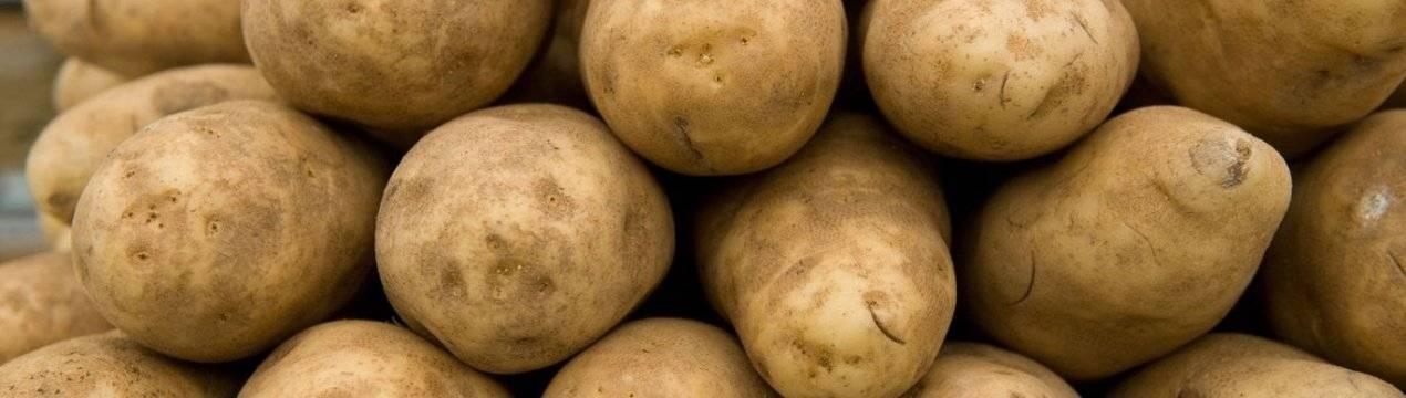 Описание и фото сорта картофеля латона и правила выращивания